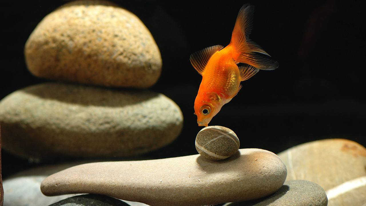 goldfish aquarium reviews by www.puppyurl.com